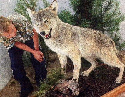 Lausitzer Wölfe